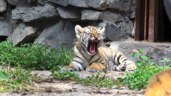 Полосатые урчальники: вечерний тест НГС — угадайте, едят ли тигры людей и какого цвета у них глаза