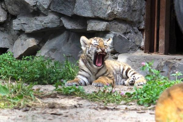Международный день тигра отмечают каждый год 29 июля