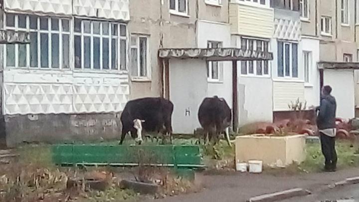 Шёл 2018 год: в Ярославле коровы вышли пастись к подъездам жилых домов
