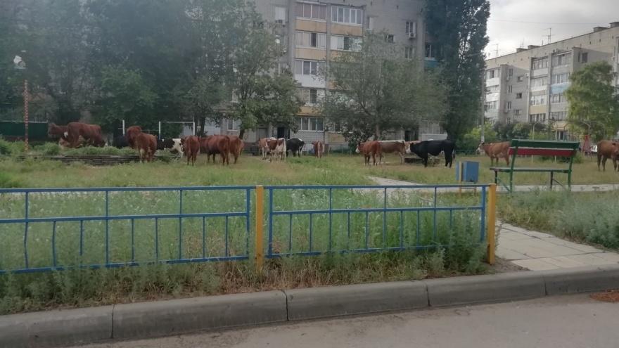 Сбежавшие из-под кнута телки забрели во двор многоквартирного дома в Волгограде