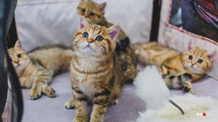 Персы, бенгалы и беспородные — все, как с обложки: в Перми открылась международная выставка кошек