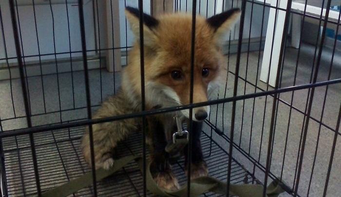 Зверь в городе: спасённая новосибирцами лиса вылечилась и сбежала