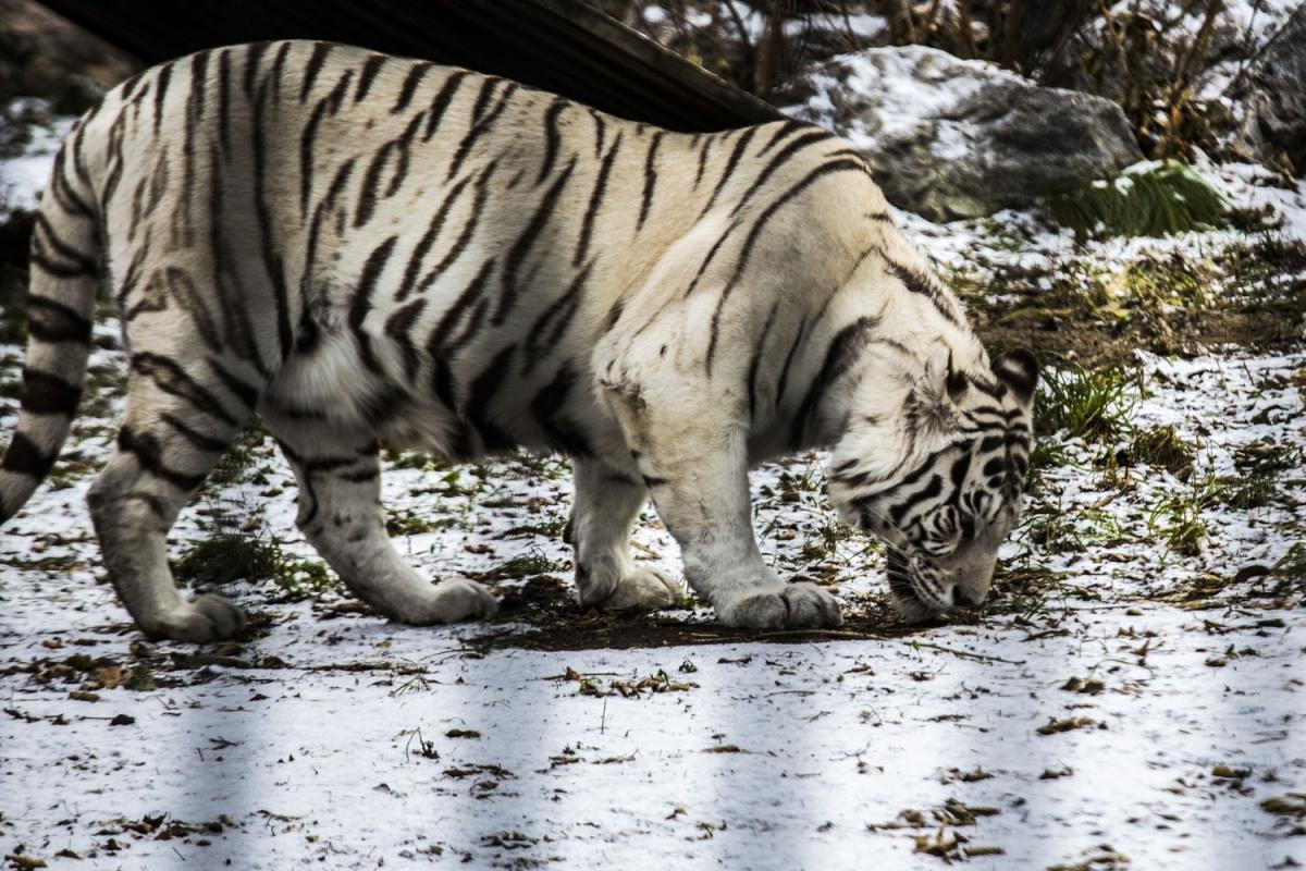 Белые тигры почти сливаются с природой —слой снега ещё тонкий и сквозь него просвечивает темная земля