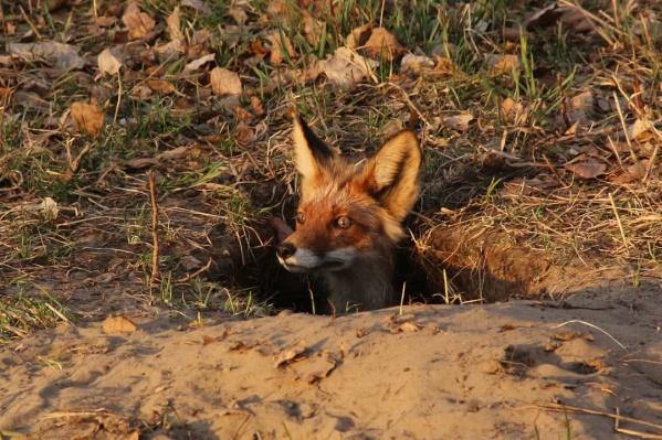 Смешная лиса с большими ушами сидела в яме, как суслик