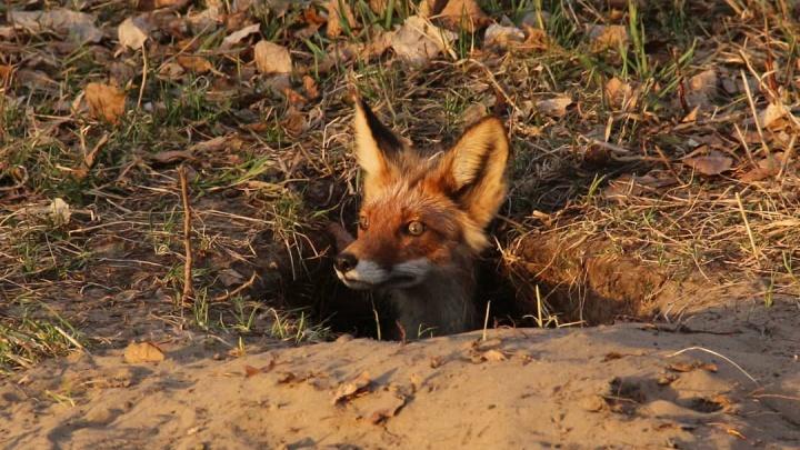 Лисичка на острове Татышев забралась в яму и наблюдала оттуда за своими детьми