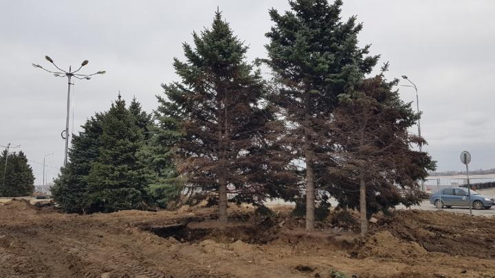 «Где-то в Советском районе»: чиновники не помнят, куда делись пять елок с набережной Волгограда
