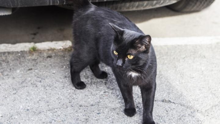 Волонтёры попросили новосибирцев спрятать чёрных котов перед Хеллоуином
