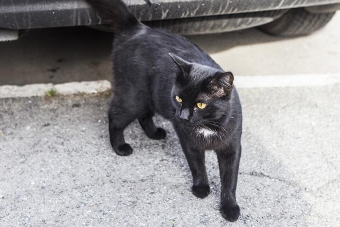 Чёрная кошка считается вторым символом Хеллоуина после тыквы