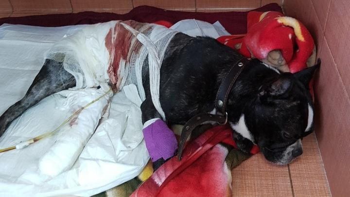 Хозяин бросил в клинике попавшего под машину пса, узнав, что тот останется инвалидом