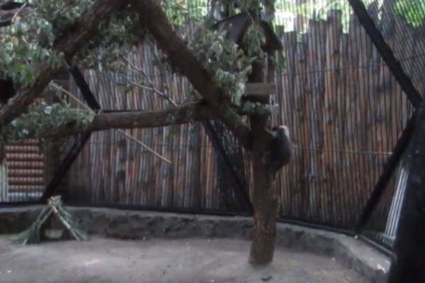Поркупин появился в зоопарке на прошлой неделе