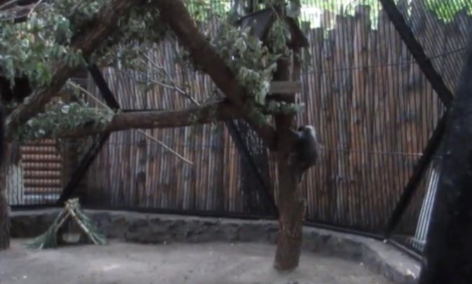 Маленький взъерошенный дикобраз из зоопарка попал на видео