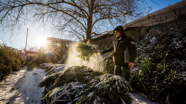 В Новосибирск привезли первые новогодние ёлки