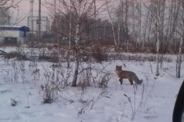 Лису парковчане заметили в пятницу днём на улице Александра Шмакова