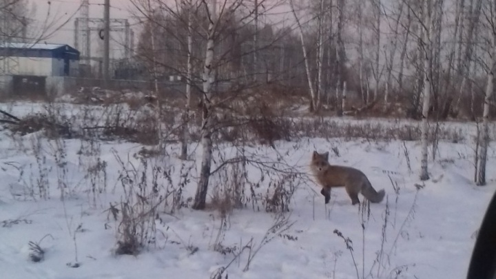 «Вела себя очень уверенно»: в гости к парковчанам наведалась дикая лиса