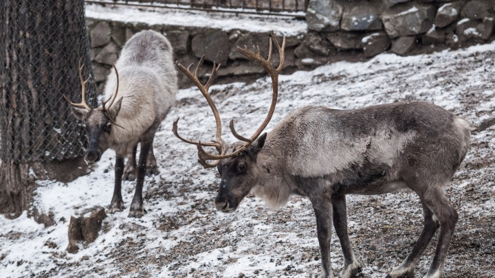 Вечно на рогах, вечно пьяный: сибирские ученые нашли в крови северных оленей спирт