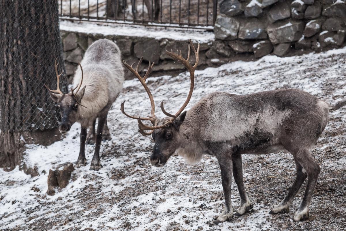 Организм северных оленей вырабатывает этанол, чтоб не замёрзнуть и не впасть в спячку