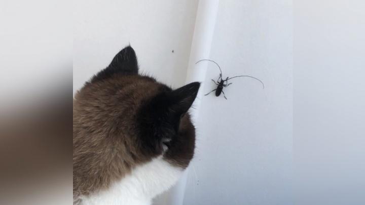 Полчища огромных жуков-стригунов атакуют жителей Лесосибирска