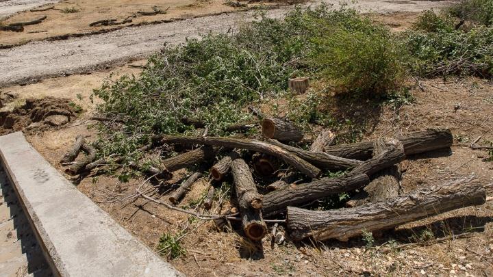 Под Волгоградом рабочие в одночасье спилили аллею деревьев с полувековой историей