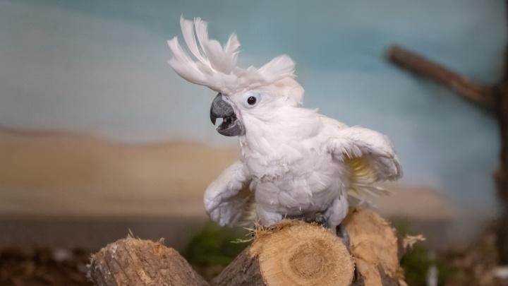 В Новосибирском зоопарке у трёх пар какаду появились птенцы