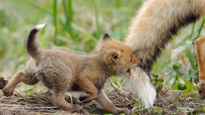 «Волчицы — скверные мамы»: биолог из Питера откроет фотовыставку о материнстве в дикой природе