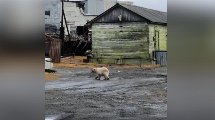 Из Диксона в зоопарк Красноярска отправили белого медвежонка. Он два месяца гулял по поселку