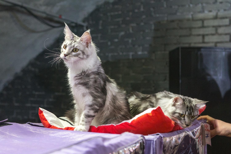 Организаторы всегда говорят, что кошки чувствуют себя хорошо, потому что находятся рядом со своими хозяевами