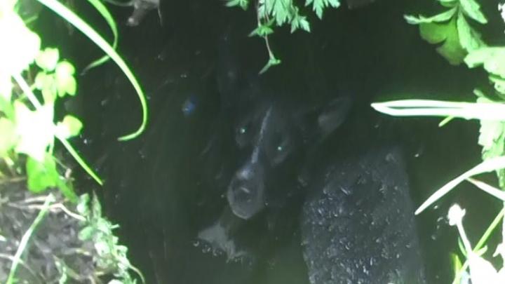 Ярославцы спасли собаку, несколько часов просидевшую в канализации