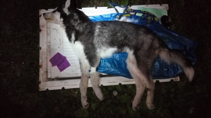 В Екатеринбурге хозяин выбросил на улицу умирать щенка хаски, заболевшего чумкой