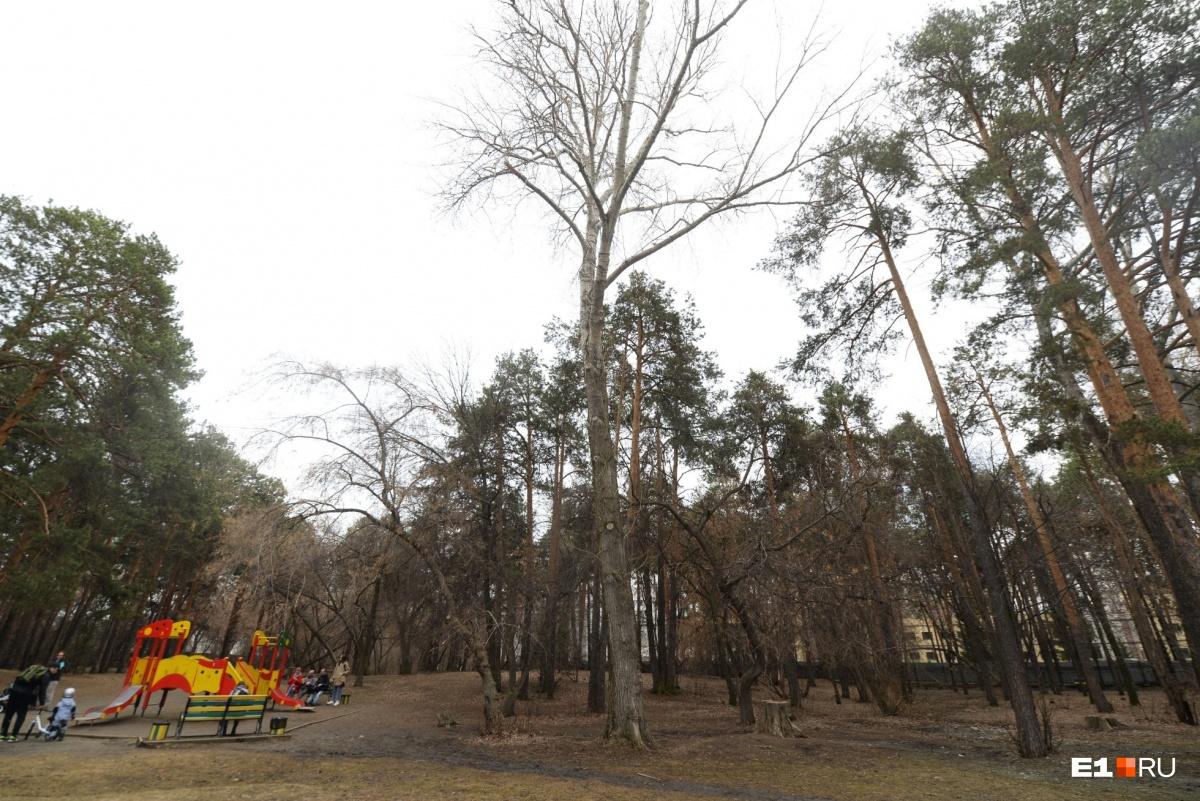 В парке, действительно, есть старые и засохшие деревья, но вырубить собираются и вполне себе живые экземпляры