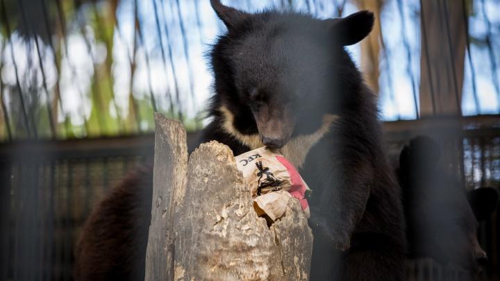 Зоопарк накормил гималайского медведя едой в пакете из KFC