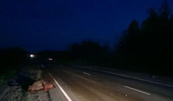 Машина вылетела в кювет, объезжая косулю: на тюменской трассе пострадала пассажирка иномарки