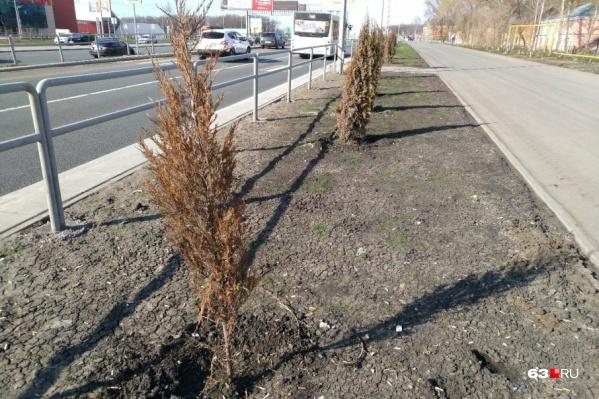 Высохшие деревья на шоссе заменили по гарантии