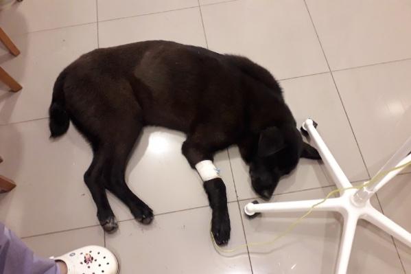 9-месячного щенка жестоко искусали клещи