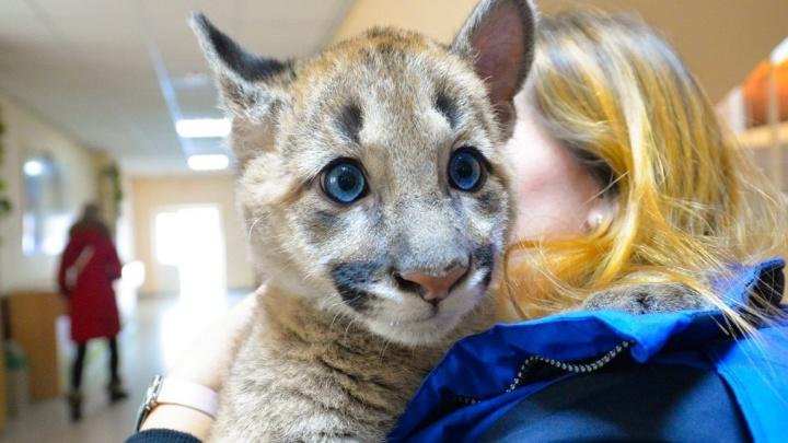 Прокуратура запретила пумёнку Рафику гулять с детьми по екатеринбургскому зоопарку