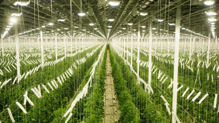 В России собираются поставить рекорд по сбору урожая. Из-за этого овощи в магазинах будут дешевле