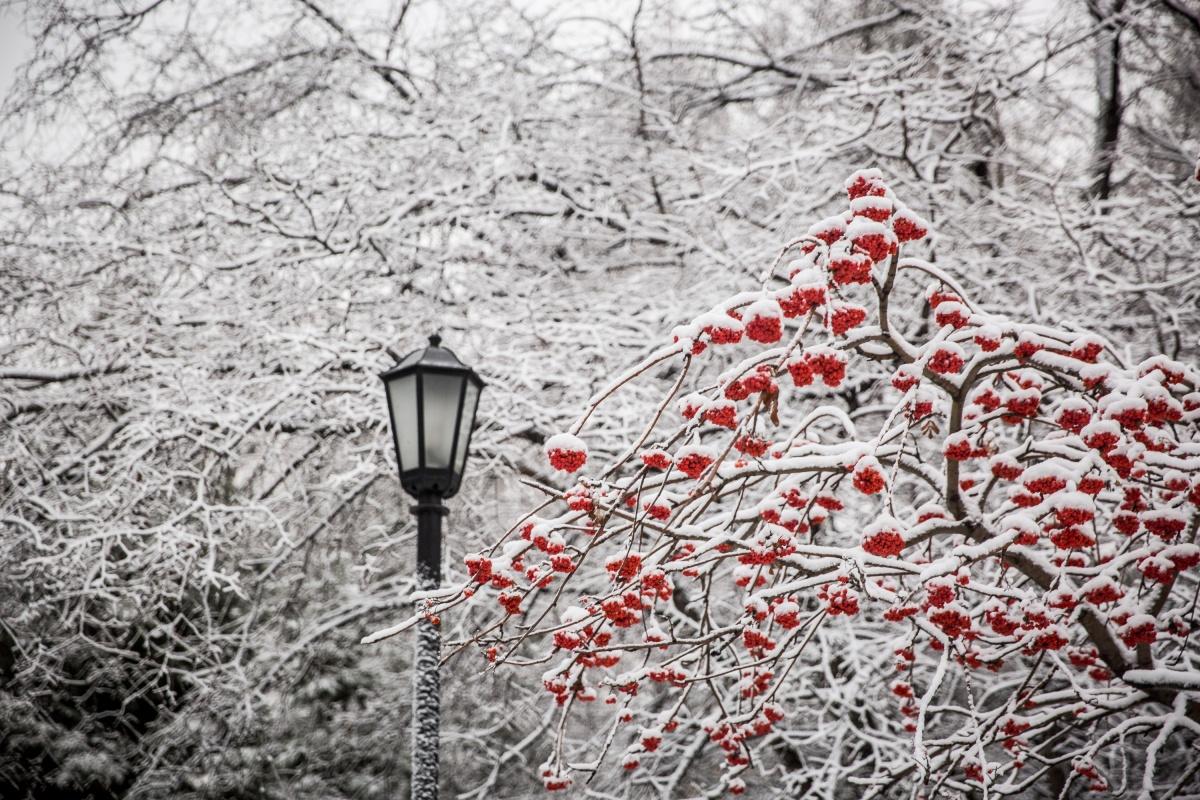 Многочисленные кусты рябин облачились в снежные шапки