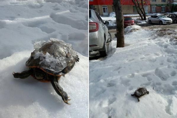 Эту черепаху, как сообщают авторы поста, они нашли на улице насмерть замерзшей