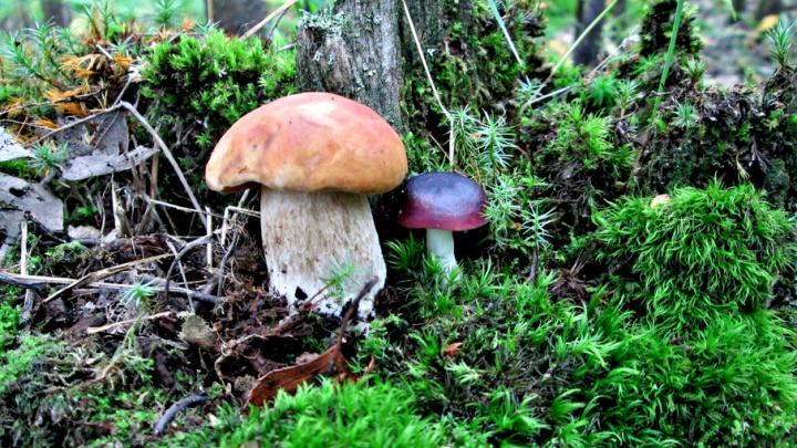 В корзинку или мимо: тест-игра на знание съедобных и несъедобных грибов
