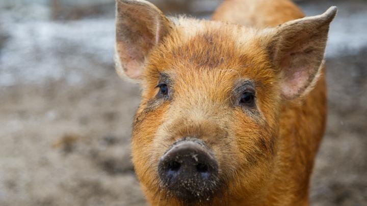 Чума их не коснулась: на крупных волгоградских свинофермах, несмотря на АЧС, выросло поголовье