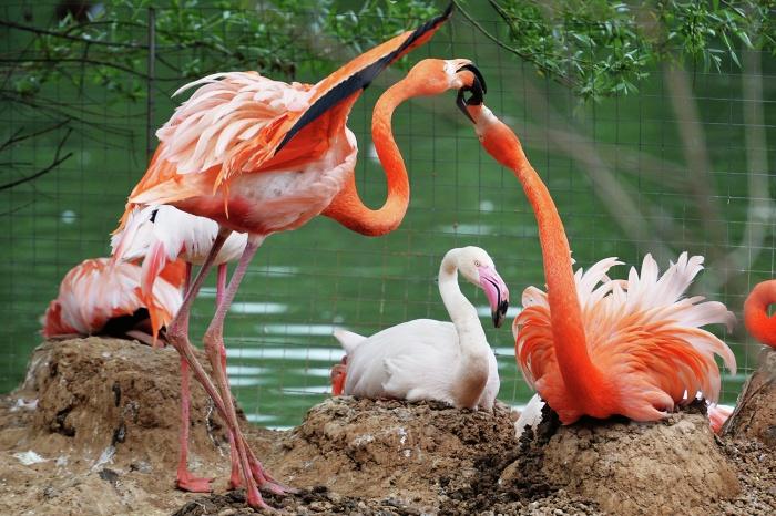 В новом вольере хотят разместить 25 фламинго