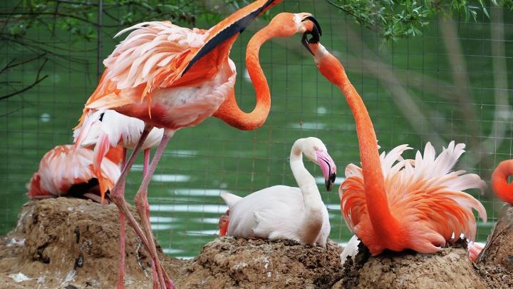 С бассейном и тёплым полом: зоопарк поставит у лебединого озера вольер для толпы фламинго