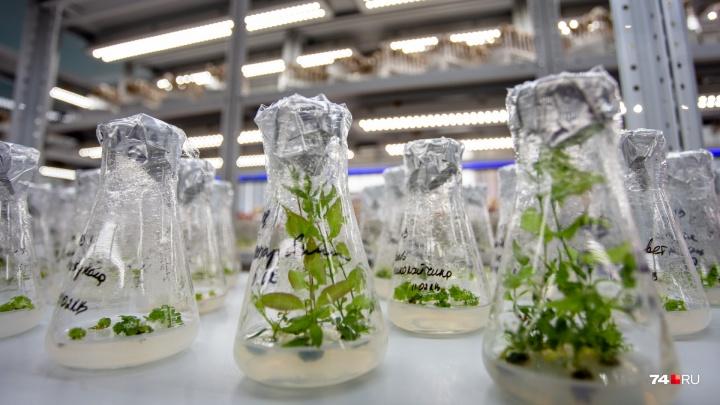 «Мы их любим и мучаем»: в челябинской лаборатории показали, как клонируют растения