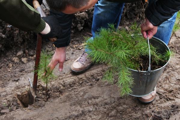 Ожидается, что на посадку миллиона деревьев уйдет два или три года