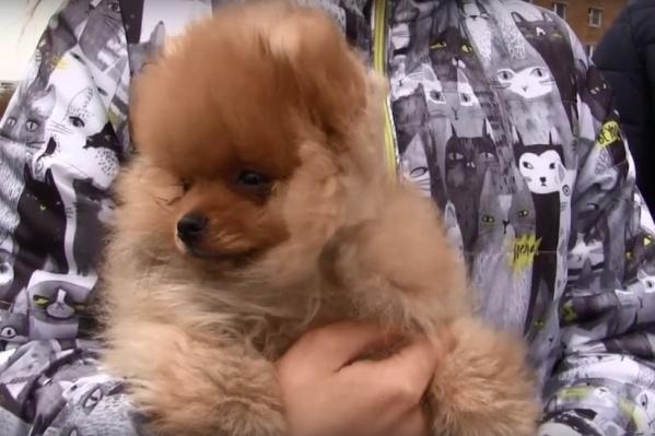 Стоимость такого щенка составляет 30–35 тысяч рублей