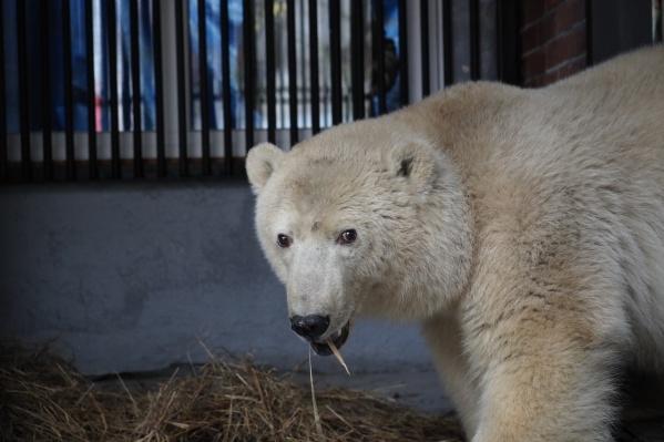Медведь уже выглядит взрослым, однако ему меньше года. До трёх лет они остаются под крылом матери