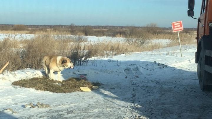На трассе под Тюменью хозяева бросили пса. Он ждёт их возвращения и никуда не уходит
