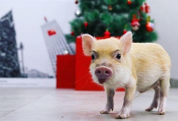 Нежный ворчун по имени Фил: архангельская семья рассказала, каково это — жить со свиньей