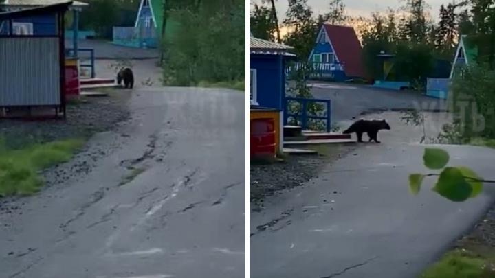 Бурый медведь вышел к людям на турбазу в Норильске