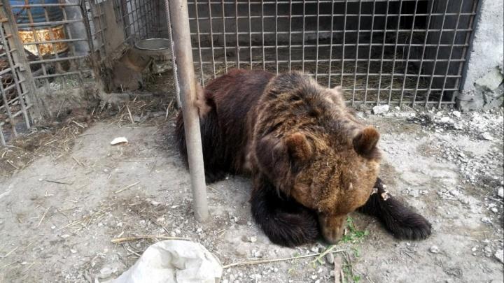 «Есть проблески сознания»: омич, которому медведица разодрала руку, остаётся в реанимации