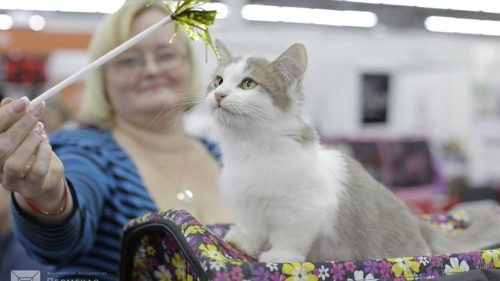 Соревнования, фотосессии и цирковое шоу: что ещё ждёт пермяков на «Выставке кошек — 2019»